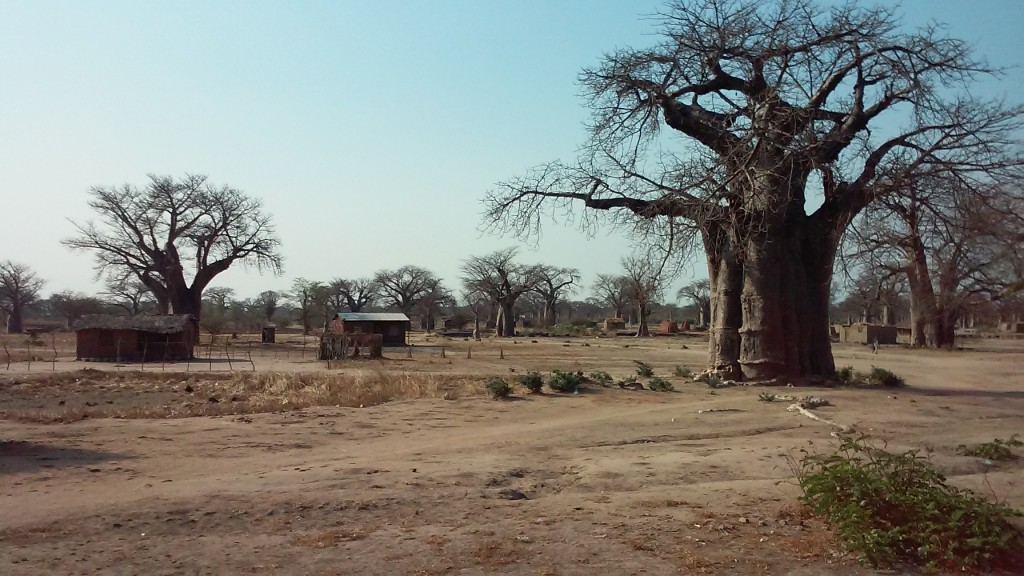 A view from the bus ride. The immense trees are the sacred Baobob