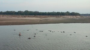 Hippos! The Luongwa River has more hippos than anywhere else on the planet.